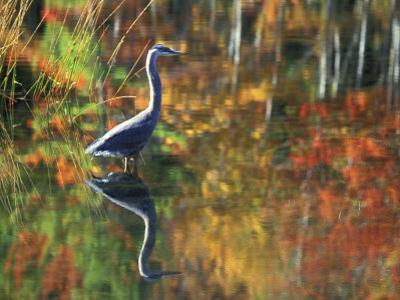 Great Blue Heron in Fall Reflection, Adirondacks, New York, USA