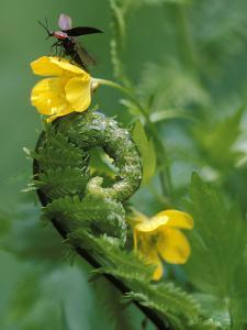 Lightning Bug Taking Flight Atop Buttercup with Ferns, Pennsylvania, USA by Nancy Rotenberg