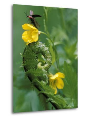 Lightning Bug Taking Flight Atop Buttercup with Ferns, Pennsylvania, USA