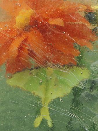 Luna Moth on Orange Dahlia Behind Glass, Pennsylvania, USA