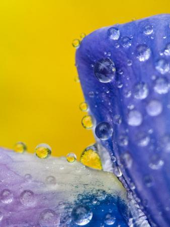 Lupine With Rain Drops, Southeast Alaska, USA