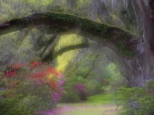 Moss-Laden Live Oak Tree, Magnolia Gardens, South Carolina, USA by Nancy Rotenberg