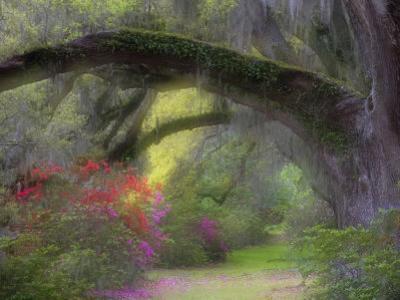 Moss-Laden Live Oak Tree, Magnolia Gardens, South Carolina, USA