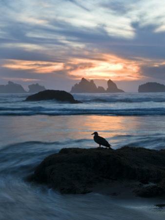 Seagull Silhouette on Coastline, Bandon Beach, Oregon, USA