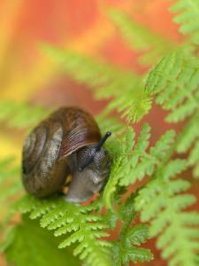 Snail on Fern in Fall, Adirondacks, New York, USA by Nancy Rotenberg