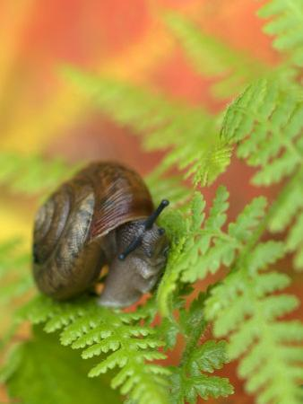 Snail on Fern in Fall, Adirondacks, New York, USA