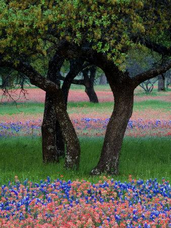 Texas Wildflowers and Dancing Trees, Hill Country, Texas, USA