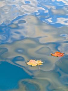 Two Leaves Floating on Pete's Lake, Upper Peninsula, Michigan, USA by Nancy Rotenberg