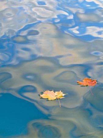 Two Leaves Floating on Pete's Lake, Upper Peninsula, Michigan, USA