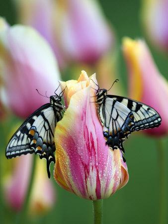 Two Swallowtail Butterflies on Tulip in Early Morning