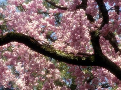 Cherry Blossom Tree in Bloom, Tokyo, Japan