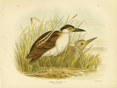 Nankean Night Heron or Nankeen Night Heron, 1891-Gracius Broinowski-Giclee Print