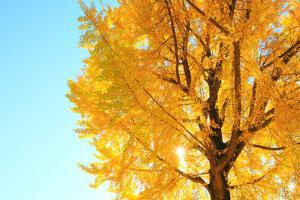 Gingko Tree, Nagano Prefecture, Japan by NAOKI MUTAI/a.collectionRF