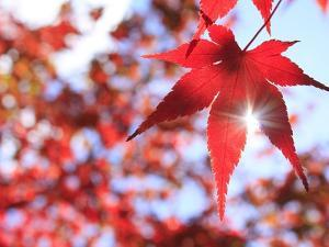 Sun Shining Through Maple Leaf by Naoki Mutai