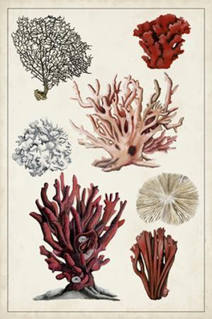 Antique Coral Study I by Naomi McCavitt