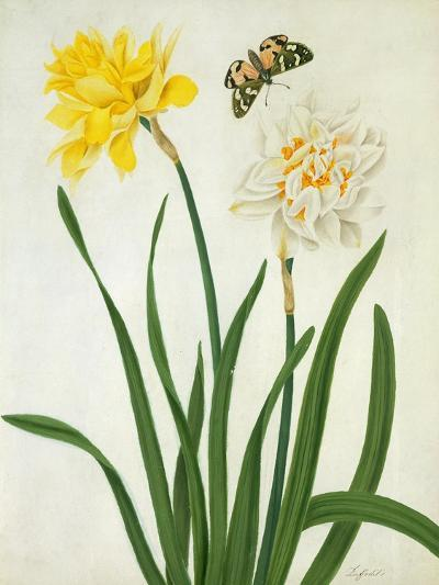 Narcissi and Butterfly (W/C and Gouache with Gold over Pencil on Vellum)-Matilda Conyers-Giclee Print