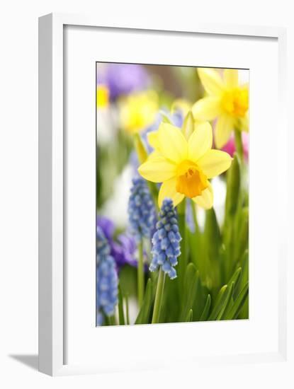 Narcissi, Daffodils, Grape Hyacinths-Sweet Ink-Framed Photographic Print