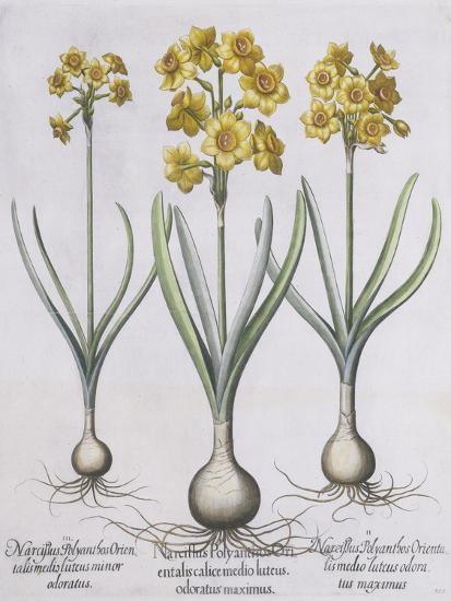 Narcissis Polyanthus-Basilius Besler-Giclee Print