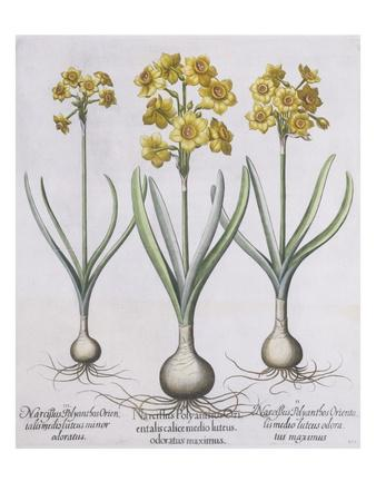 https://imgc.artprintimages.com/img/print/narcissis-polyanthus_u-l-pf5snj0.jpg?p=0