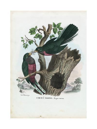 Narina Trogon, 1863-79-Raimundo Petraroja-Giclee Print