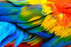 Close up of Scarlet Macaw Bird's Feathers by Narupon Nimpaiboon