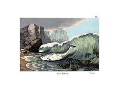 Narwal, 1860--Giclee Print