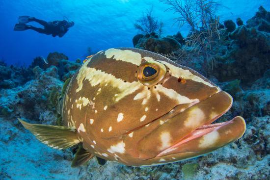 Nassau Grouper (Epinephelus Striatus) Watched by a Diver on a Coral Reef-Alex Mustard-Photographic Print