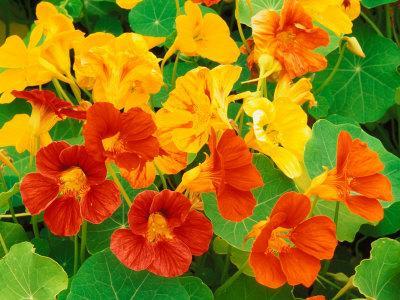 https://imgc.artprintimages.com/img/print/nasturtium-flowers-tropaeolum-seattle-washington-usa_u-l-pxppcp0.jpg?p=0