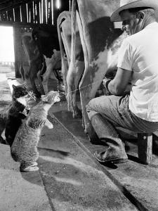 Cats Blackie and Brownie Catching Squirts of Milk During Milking at Arch Badertscher's Dairy Farm by Nat Farbman