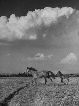 Mare and Colt Running across Open Field, with Billowy Clouds in Sky
