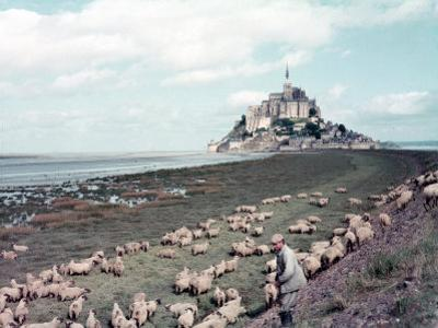 Shepherd Tending Flock of Sheep, Mont Saint Michel, a 13th Cent. Abbey and Town on Brittany Coast