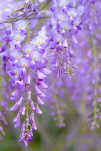 Wisteria Flowers in Bloom by Natalia Ganelin