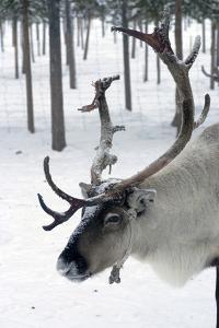 Reindeer, Jukkasjarvi, Sweden by Natalie Tepper