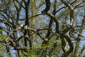 Tangled Branches, Epping Forest, Essex, England by Natalie Tepper