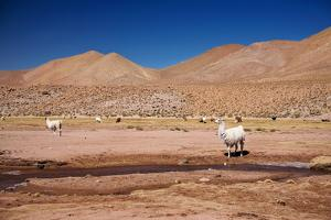 Lamas in Atacama Desert, Chile by Nataliya Hora