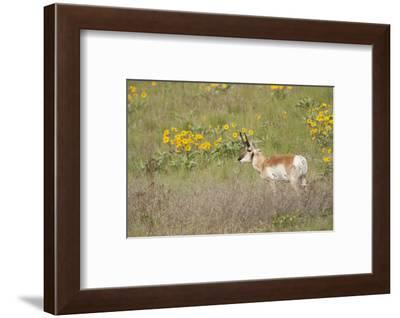 National Bison Range, Montana Pronghorn buck standing in a field of arrow-leaved balsamroot-Janet Horton-Framed Photographic Print