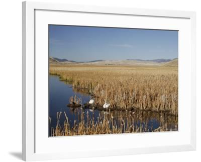 National Elk Refuge, Wyoming, USA, with Pair of Trumpeter Swans at Nest (Cygnus Cygnus Buccanitor}-Rolf Nussbaumer-Framed Photographic Print