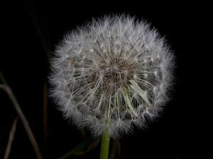 A Dandelion by National Geographic Photographer