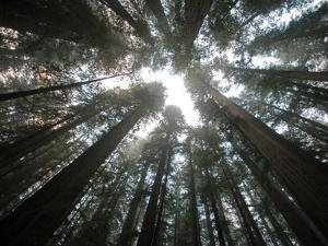 A Redwood Tree Canopy in Humboldt State Park by National Geographic Photographer