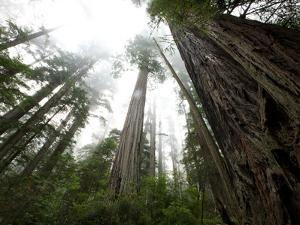 A Redwood Tree Canopy in Prairie Creek Redwoods State Park by National Geographic Photographer