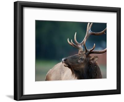 A Roosevelt Elk Bull in Prairie Creek Redwoods State Park