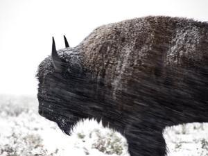 Buffalo Bracing Himself Against the Snow by National Geographic Photographer