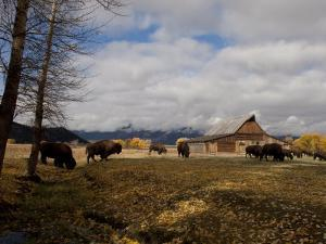 Buffalo in Front of Moulton Barn Near Grand Teton National Park by National Geographic Photographer