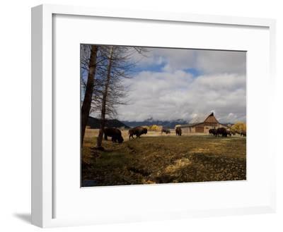 Buffalo in Front of Moulton Barn Near Grand Teton National Park
