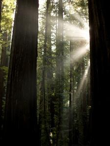 Bull Creek Flats, Home to Many of the Tallest Redwood Trees on Earth by National Geographic Photographer