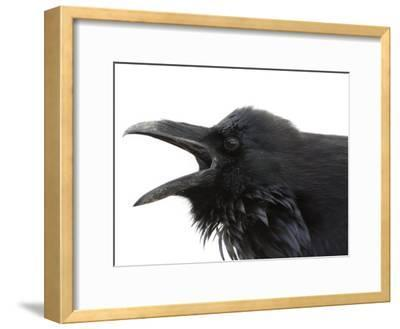 Cawing Crow in Yellowstone National Park
