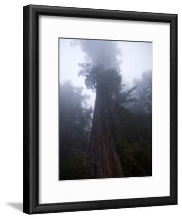 Fog Shrouds a Redwood Tree in Redwood National Park