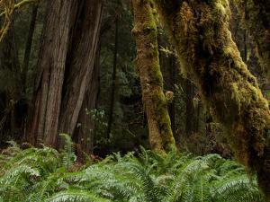 Moss Covered Redwood Trees in Prairie Creek Redwoods State Park by National Geographic Photographer
