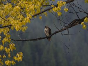 Red-Tailed Hawk in Grand Teton National Park in the Fall by National Geographic Photographer