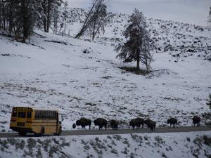 School Bus Stopped by a Herd of Bison in Yellowstone National Park by National Geographic Photographer